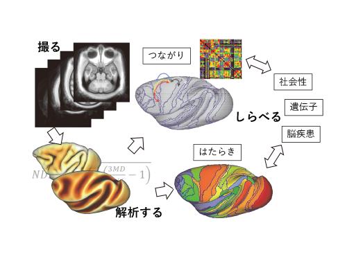 マルチモーダル神経画像・高精度標準化解析による種間比較霊長類脳コネクトーム解明研究