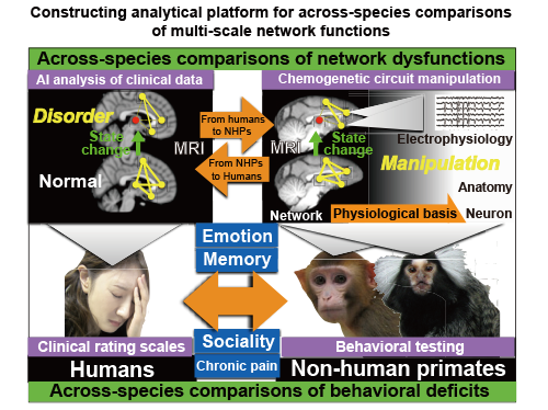 Establishing a multiscale platform for the analysis of brain circuit function by an interspecific, bidirectional approach with circuit manipulation and machine learning
